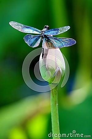 五颜六色的蜻蜓花莲花图片
