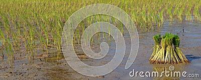 рис поля
