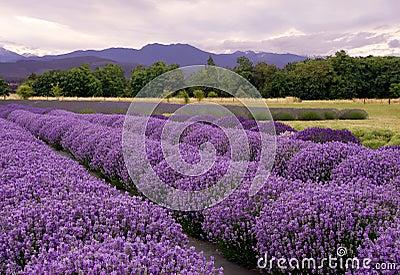 横向淡紫色