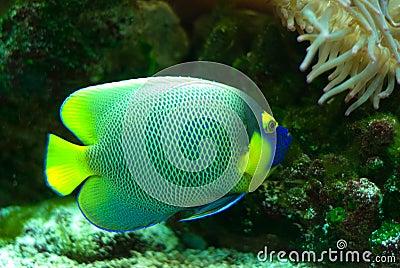 морской пехотинец рыб