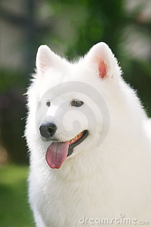 λευκό σκυλιών