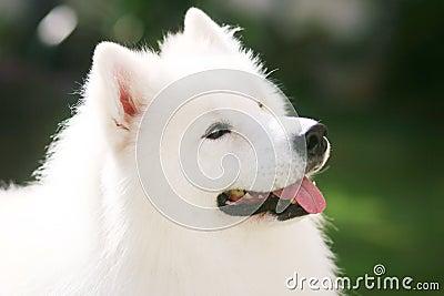 белизна собаки