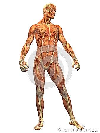 μπροστινός ανθρώπινος αρσενικός μυς σωμάτων