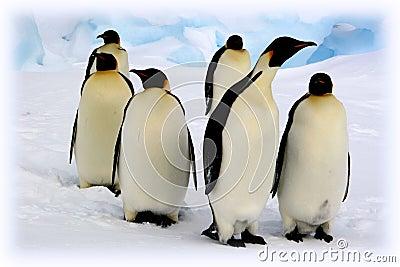 пингвины императора