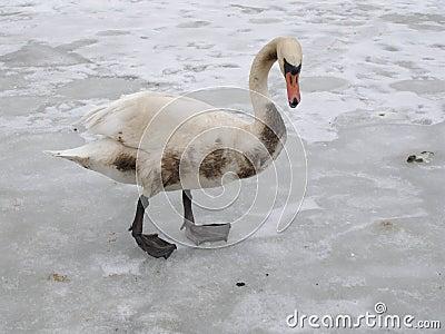 лебедь нездоровый