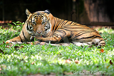 τίγρη της Βεγγάλης