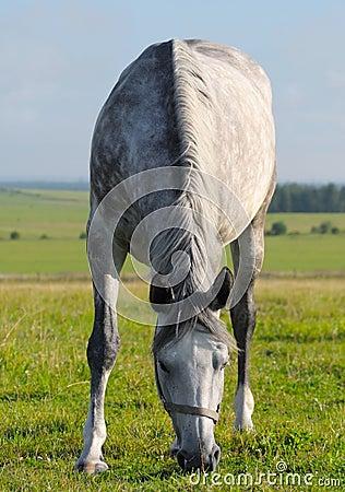 起斑纹灰色母马