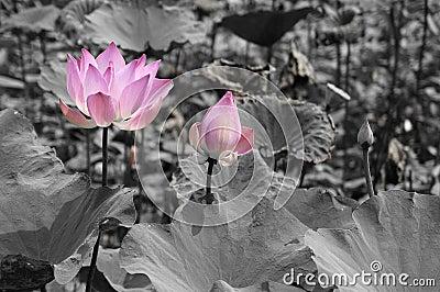 цветет лотос