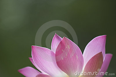 лотос цветка