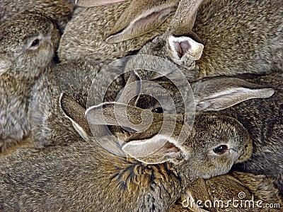 кролики пука