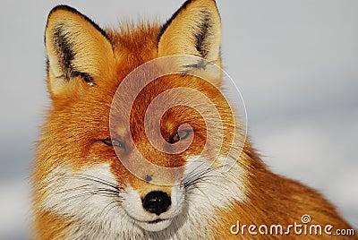 通配的狐狸