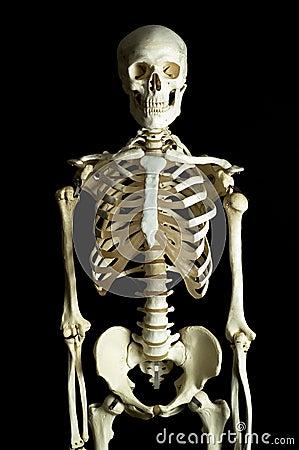 людской скелет
