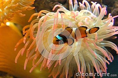 рыбы клоуна