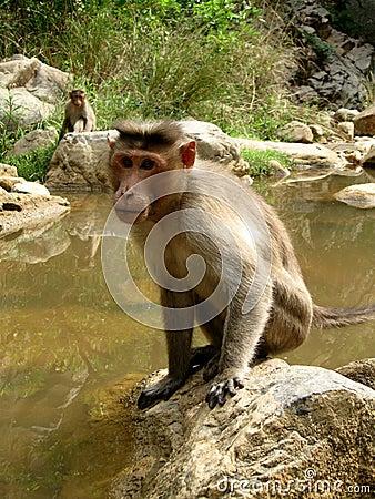 严格的猴子