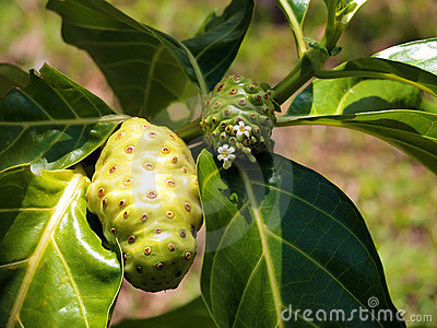Noni fruit and flower