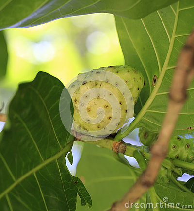 Noni fruit. National Tropical Botanical Garden. Hawaii.