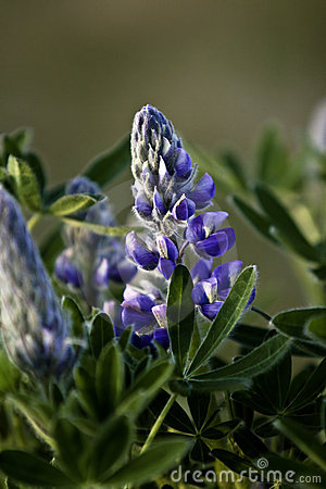 Nootka lupin flower in bloom