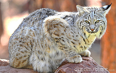 Nordamerikanischer Rotluchs Yellowstone-nationaler Park, Idaho