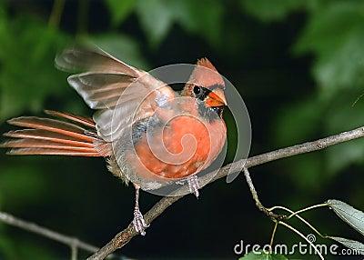 Nordlig kardinal