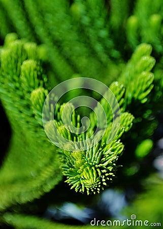 Free Norfolk Island Pine Stock Image - 28172451