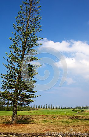 Free Norfolk Island Pine Stock Photography - 37172332