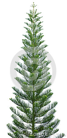 Free Norfolk Pine Tree Isolated On White Royalty Free Stock Images - 28232399