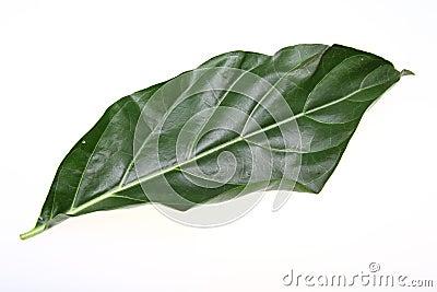 Nori Leaf