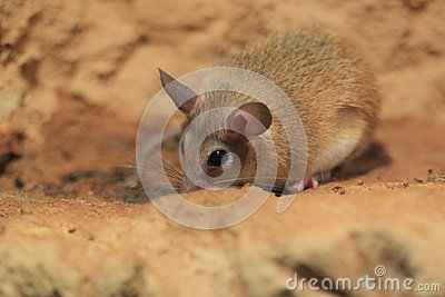 North african gerbil