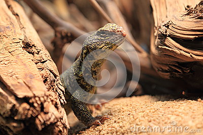 North african spiny-tailed lizard