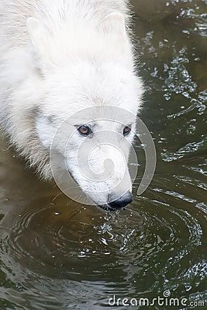 North American Arctic Wolf