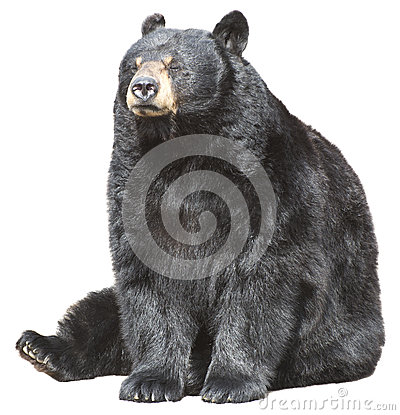 North American Black Bear Sit, Sleeping Isolated