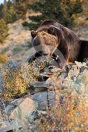 Free North American Brown Bear (Grizzly Bear) Royalty Free Stock Photography - 26914647