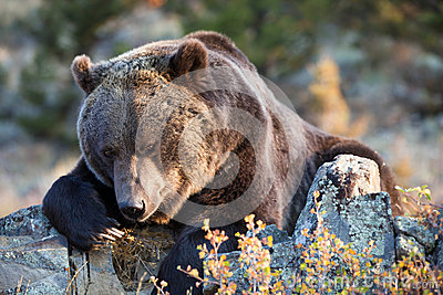 North American Brown Bear (Grizzly Bear)