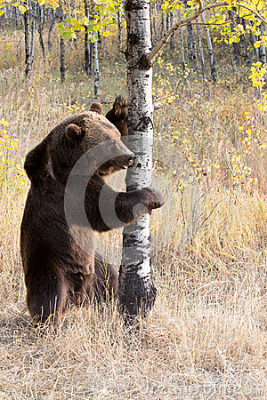 Free North American Brown Bear (Grizzly Bear) Royalty Free Stock Photography - 26914937