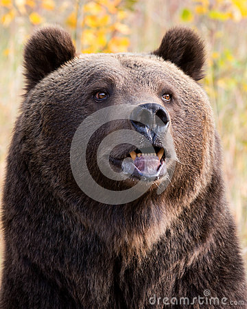 Free North American Brown Bear (Grizzly Bear) Royalty Free Stock Photos - 26914938
