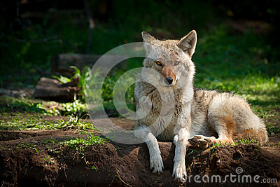 North American Coyote (Canis latrans)