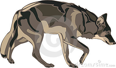 North American gray wolf.