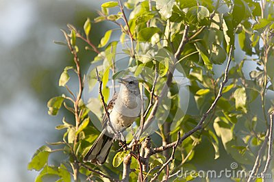North American Mockingbird