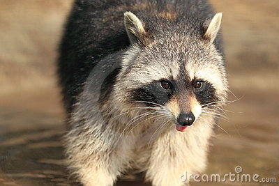 North american raccoon
