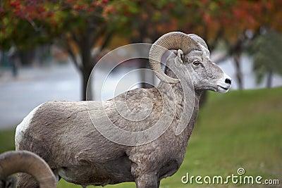 North American Ram