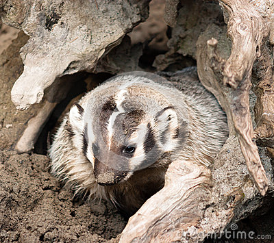 North American Short Legged Badger Emerging from Safety of Burro
