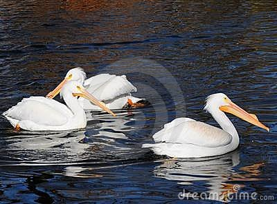 North american white pelicans