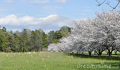 North Carolina meadow with cherry trees