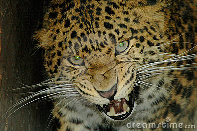 North Chinese leopard (Panthera pardus japonensis)