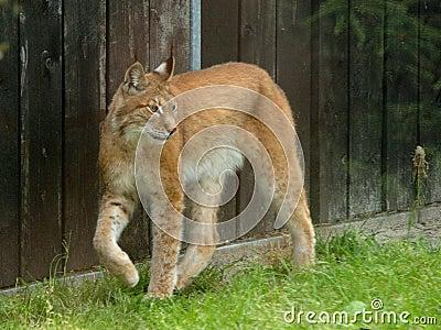 A north european lynx.