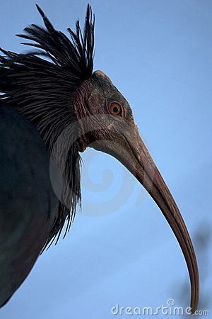 Northern Bald Ibis, Hermit Ibis, or Waldrapp.