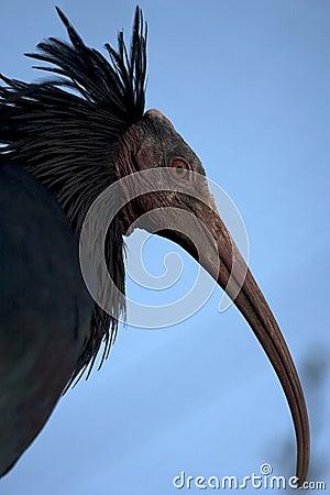 Northern Bald Ibis, Hermit Ibis, or Waldrapp.