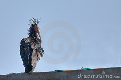 Northern Bald Ibis or Waldrapp