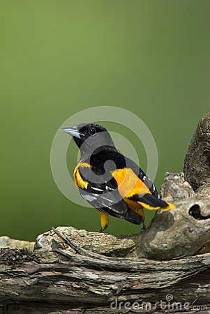 Northern Baltimore Oriole (Icterus galbula)