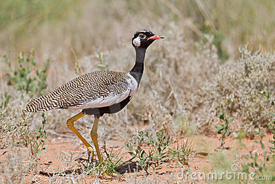 Northern Black Korhaan
